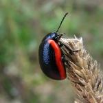 Листоед краснокаемчатый (Chrysolina sanguinolenta)