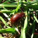 Листоед рыжий (Chrysolina staphylaea)