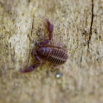 Ложноскорпион (Chelonethii)