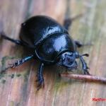 Навозник лесной (Anoplotrupes stercorosus)