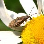 Nithecus jacobaeae