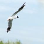 Озерная чайка (Larus ridibundus)