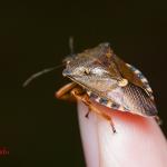 Pinthaeus sanguinipes