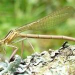 Плосконожка обыкновенная (Platycnemis pennipes)