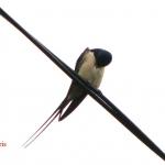 Деревенская ласточка (Hirundo rustica)