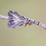 Rhamphomyia marginata
