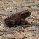 Серая, или обыкновенная, жаба