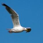 Серебристая чайка (Larus argentatus)