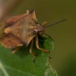 Щитник черноусый (Carpocoris fuscispinus)