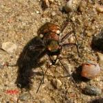 Скакун-межняк (Cicindela hybrida)