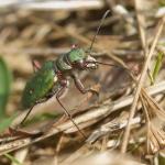 Скакун полевой (Cicindela campestris)