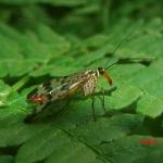 Скорпионница обыкновенная (Panorpa communis)
