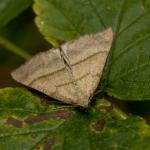 Совка хоботная (Hypena proboscidalis)