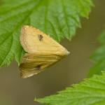 Совка малорослая (Rivula sericealis)