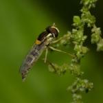 Семейство Журчалки (Syrphidae)
