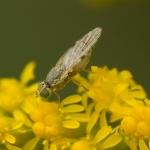 Семейство Пестрокрылки (Tephritidae)