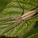 Tibellus oblongus