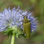 Усачик зелёный (Lepturobosca virens)