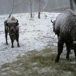 Зубр европейский (Bison bonasus)